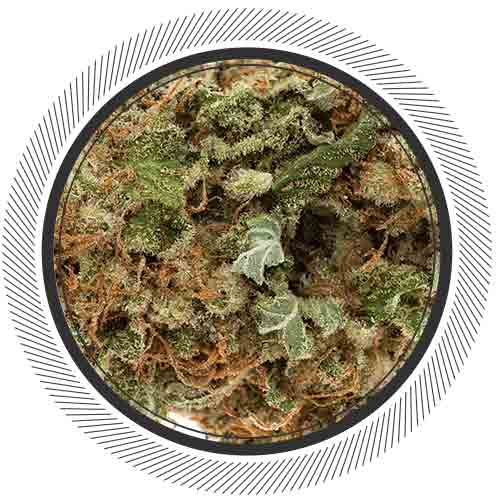 Cannabis-Marijuana-NWCo-Moby-Dick-01