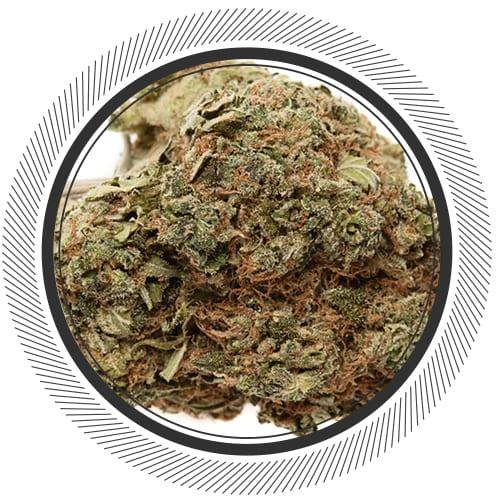 Marijuana NWC co Chemdawg 91 x Critical OG Indica 01