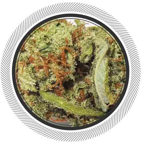 cannabis-marijuana-nwc-co-super-silve-haze