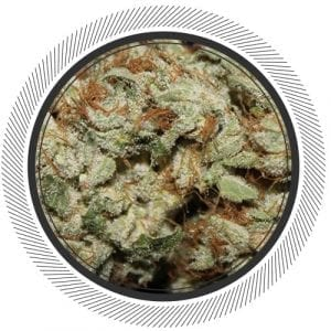 Bruce Banner the Hybrid with the perfect amount of Sativa and Indica qualities