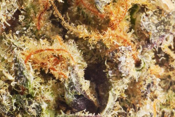 Nuken strain closeup picture