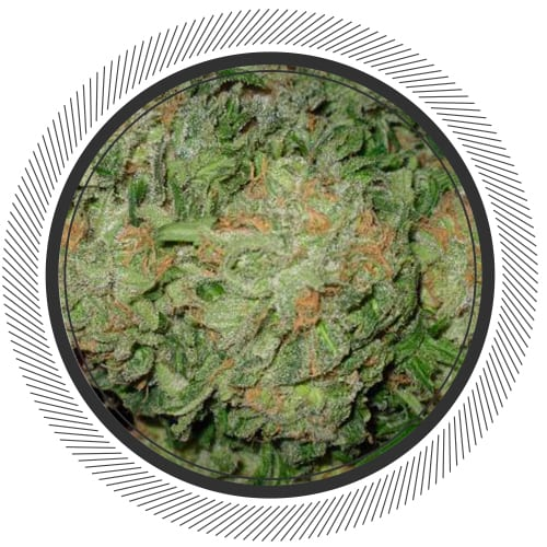 Blue-Dream-WhitePalm-Cannabis-Online-Canada