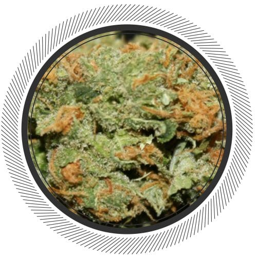 Lemon-Skunk-WhitePalm-Cannabis-Canada-Hybrid