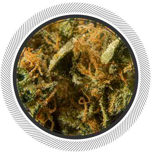 BC Hash Plant, a potent Indica with incredible medicinal benefits for anxiety and insomnia