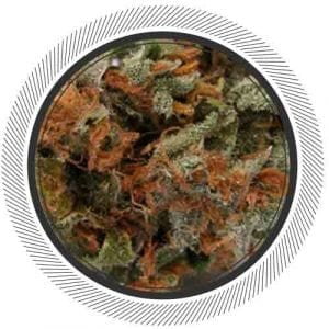 Silver Haze, a world class Sativa for a wold class WhitePalm community