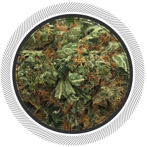 Kaia Kush, the Sativa-dominant hybrid Kush is a real rarity | Buy Weed Online
