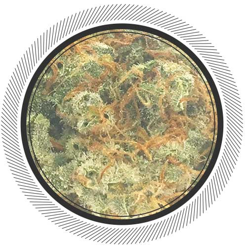 Buy Amnesia Haze online at Canada's best online dispensary