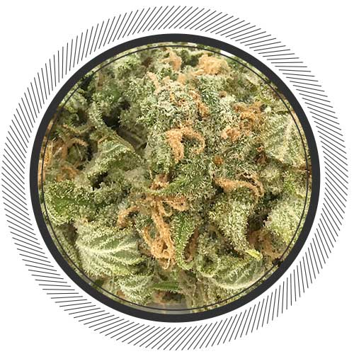 Order Grape God strain online