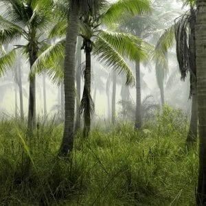 Landrace Congo Strain