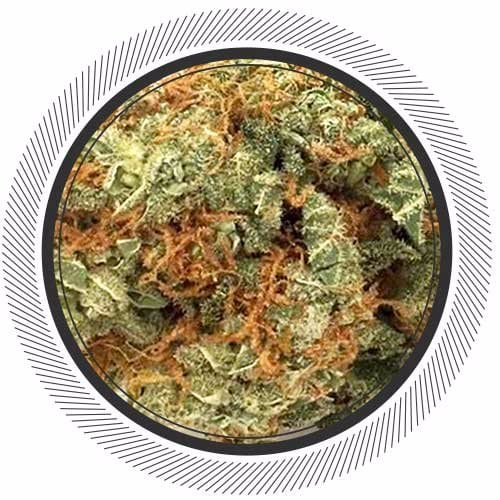 Order Tangilope sativa strain online