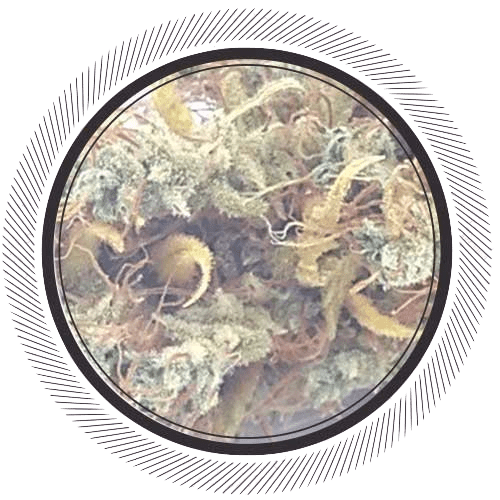 Order rare weed online, Congo Black strain