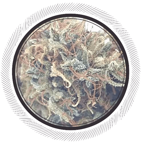 Order the original Haze, Seedsman Haze online Canada