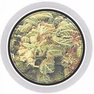 Order Wildberry strain Online