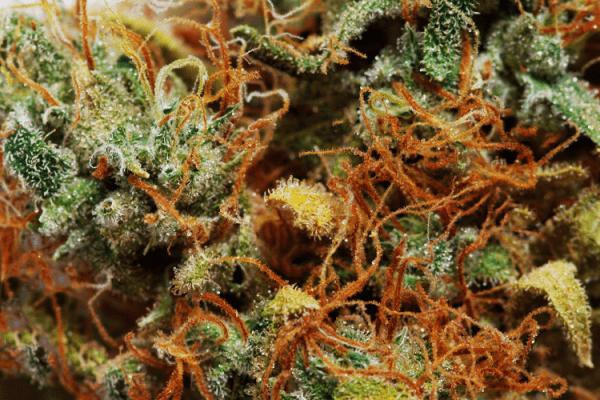 Congo Black strain close up pic