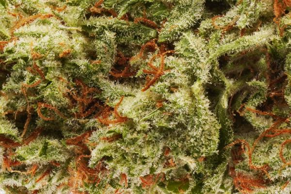 Sour Diesel strain close up
