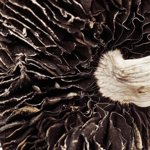 B+ magic mushroom picture