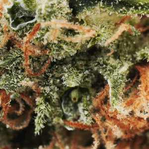 Tangie Dream closeup picture