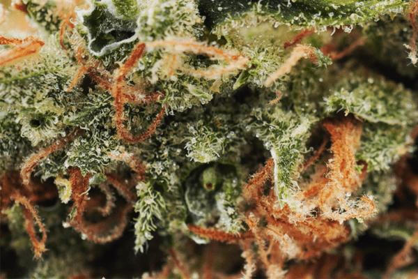 Tangie Dream closeup picture