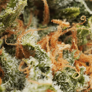 Blue Lemon Drop strain closeup picture