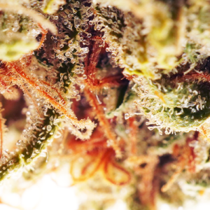 Cookies Kush close up picture