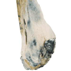 Blue Meanies potent mushroom