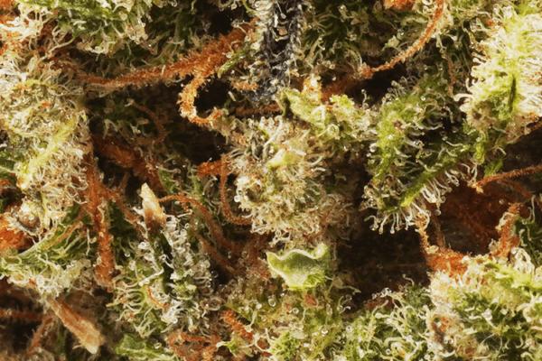 Sour Tangie strain picture closeup