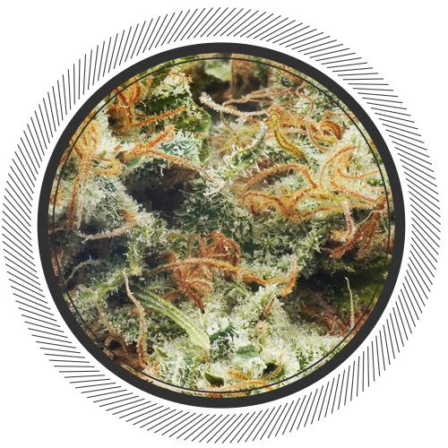 buy Organic Kalishnakov strain online