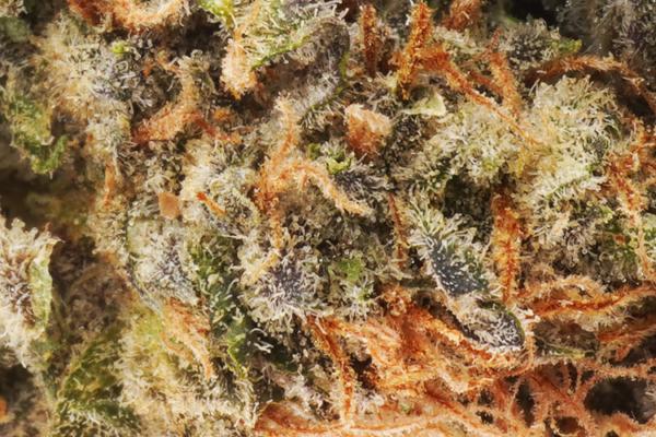 Mataro Blue strain picture