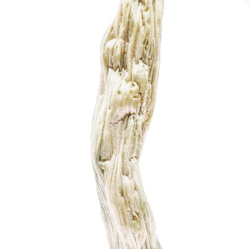 Variété de champignon magique Great White Monster