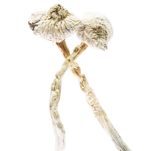 buy Great White Monster magic mushroom online Canada