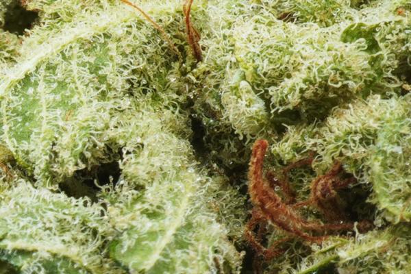Papaya strain picture